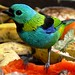 Green-headed Tanager (John Caddick)