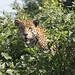 Jaguar Portrait (Bryan Roberts)