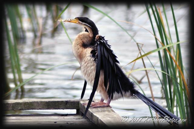 Darter (Anhinga melanogaster) or Snake Bird