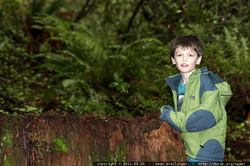nick investigating a gigantic redwood stump in the heritage grove