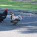 Feral roosters