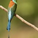 Blue-throated Bee-eater by ehmatias