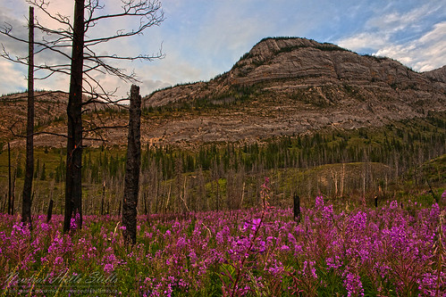 Fire Weed East of Jasper, Alberta