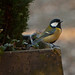 Small photo of Tit