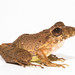 Fitzinger's Robber Frog - Photo (c) Brian Gratwicke, some rights reserved (CC BY)