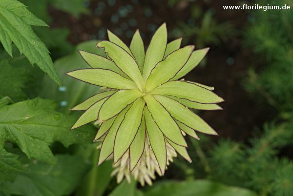 Der Schopf der Schopflilie (Eucomis bicolor) von oben