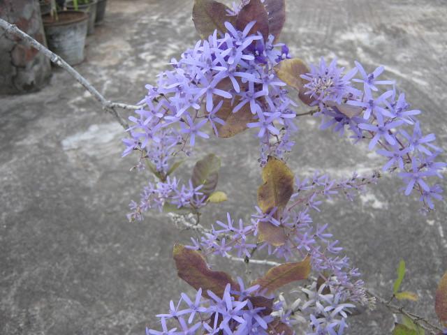 petria plant