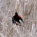 Red-winged Blackbird by zxgirl