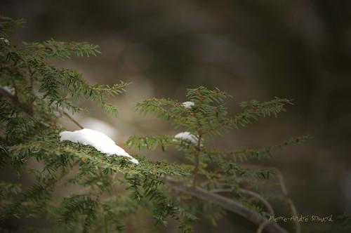 nature hiver beauté belle neige blanc bonheur froid joie forêt sapin verdure jardindhiver tempête photographe jeune rencontres expositions parcdelagatineau immaculée frette conifères digifoto lacmeech gatineauqc nikond300 lavidaenfotografia pierreandrésimard paradisdesamoureuxdelanature simpa© jardindelavie