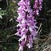 Orchis olbiensis (Paul Harmes)