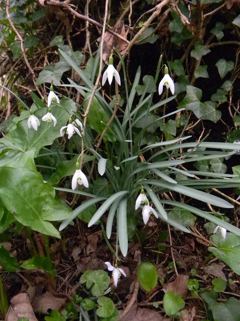 Snowdrops Arundel Circular