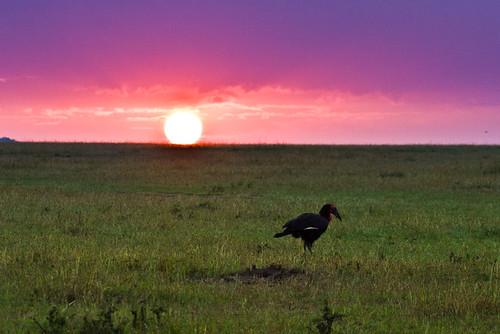 africa bucerotidae bucorvusleadbeateri geography groundhornbill hornbills kenya maasaimaragamereserve nonpasserines olareorokconservancy southerngroundhornbill animal bird sunrise