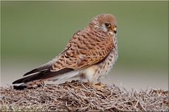 Lesser Kestrel Female-العوسق-شرياص
