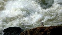 Bird at the Bujagali Falls