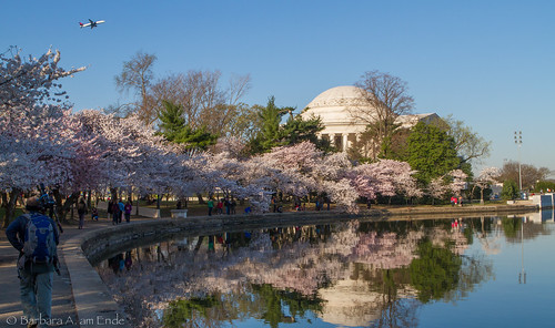 Jefferson Memorial, Cherry Blossoms, Tidal Basin, and a plane