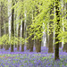 Bluebells - Ashridge Forest by Today is a good day