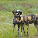 Small photo of African Wild Dogs (Lycaon pictus) under the rain