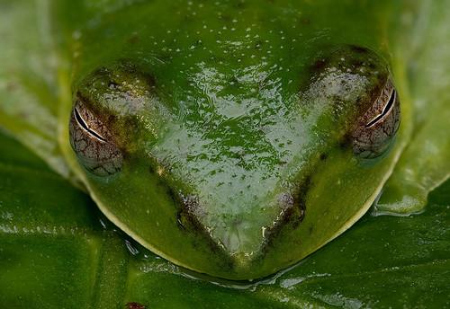 Malayan Flying Frog, <i>Rhacophorus prominanus </i>IMG_1429stk copy