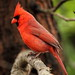 Northern Cardinal on Zoo Grounds
