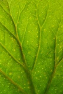 GREEN - backlit leaf