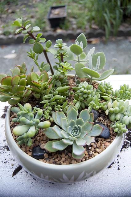 succulent dish garden flickr photo sharing