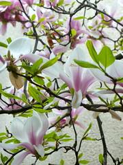 O magnolia...
