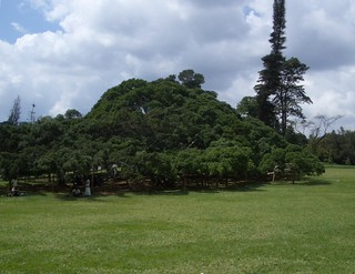 ficus benjamina, Kandy, Sri Lanka