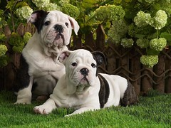 dog breed, animal, dog, old english bulldog, british bulldogs, pet, olde english bulldogge, guard dog, australian bulldog, toy bulldog, american bulldog, carnivoran, bulldog,