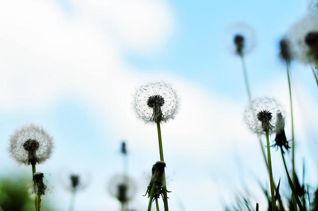 dandelion_blue sky