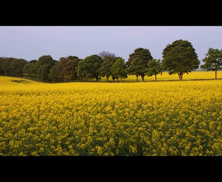 Trees march through the Rapeseed [Explored]