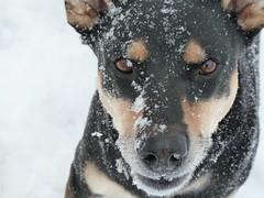 dog breed, animal, dog, dobermann, snow, pet, close-up, australian cattle dog, carnivoran,