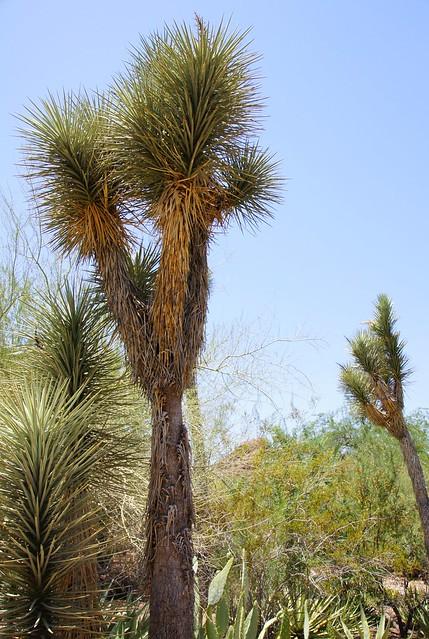2011-06-26 Phoenix, Desert Botanical Garden 043 Palma China (Yucca filifera)