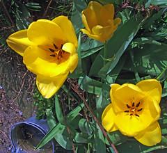yet more Tulips