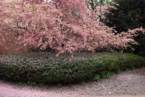 Pink Blossom Shower