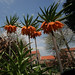The Crown imperial (Fritillaria imperialis)