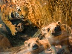 animal, big cats, tiger, mammal, fauna, safari, wildlife,