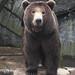 Brown bear by tjuel