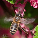 Bee Happy (Apis Mellifera Mellifera)