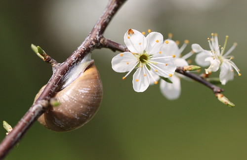 snail and blossoms