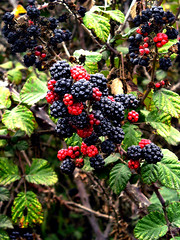 blackberry, berry, red mulberry, plant, wine raspberry, flora, fruit, boysenberry, dewberry,