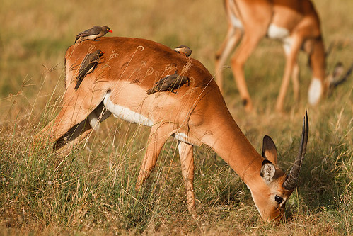 Impala and Red-billed Oxpeckers