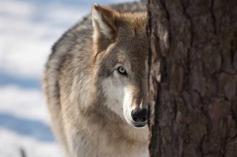 wolves lakota-012