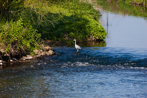 Heron at Trent-Sow confluence