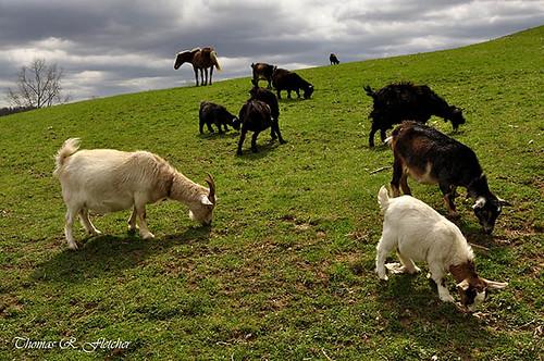 Pygmy Goats Grazing