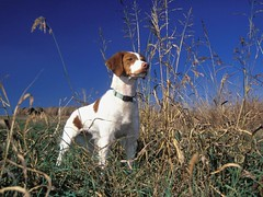 puppy(0.0), animal(1.0), dog(1.0), pet(1.0), mammal(1.0), brittany(1.0), pointer(1.0), hunting dog(1.0),