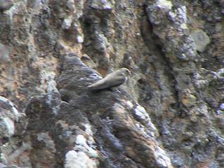 Martin Crag, ptyonoprogne rupestris, Vatousa Gorge 08/05/05