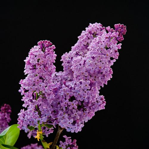 Quand refleuriront les lilas le blog de marienoellealbert - Quand tailler les lilas ...