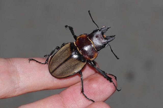 Odontolabis sommeri lowei (Lucanidae)