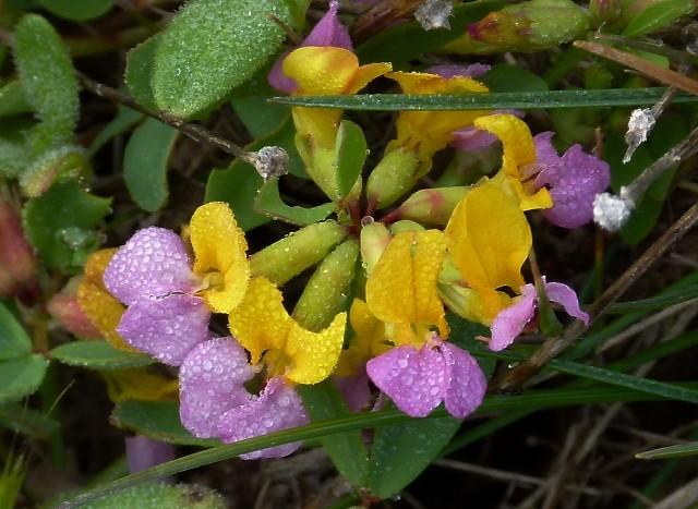 Coast Lotus  ( with tiny raindrops )