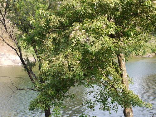 tree capparaceae crateva cratevaadansonii